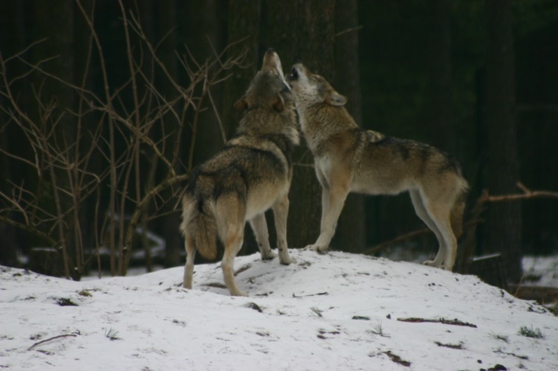Wolfseminar und Workshop